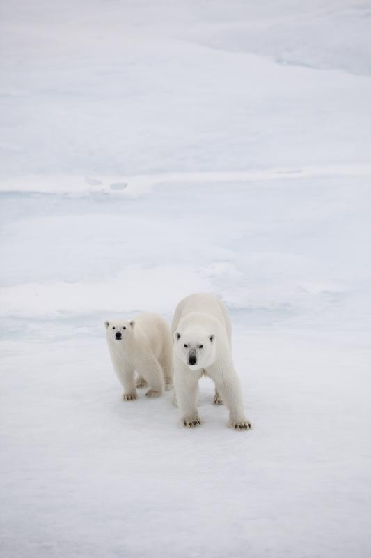 Polar Bear with Cub in Fram Strait