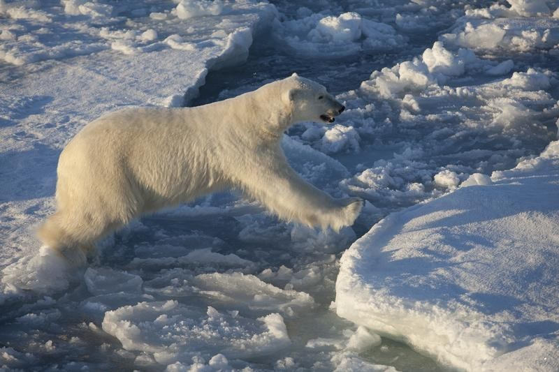 Polar Bear on Sea Ice Floe