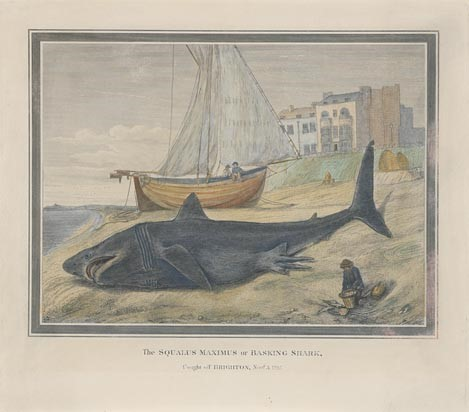 Unknown Artist- The Squalus Maximus or Basking Sha