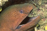 Gymnothorax javanicus Giant moray eel