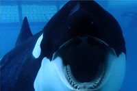 Blackfish Dogwoof Documentary (7)