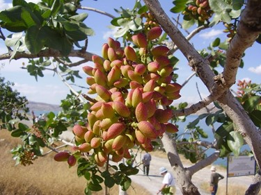 4) A Turkish pistachio tree (credit to Emel Yamant