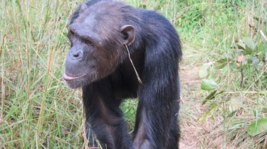A chimp with its latest accessory