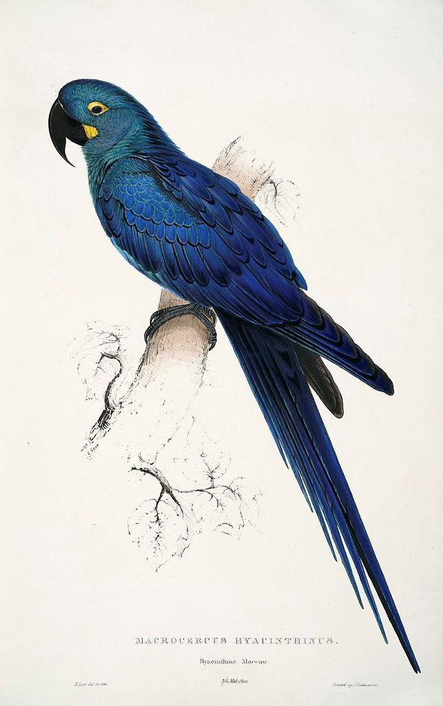 Painting by Edward Lear of a Lear's Macaw which he