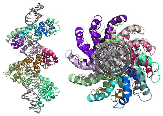 3D rendering of TALEN protein bound to DNA templat